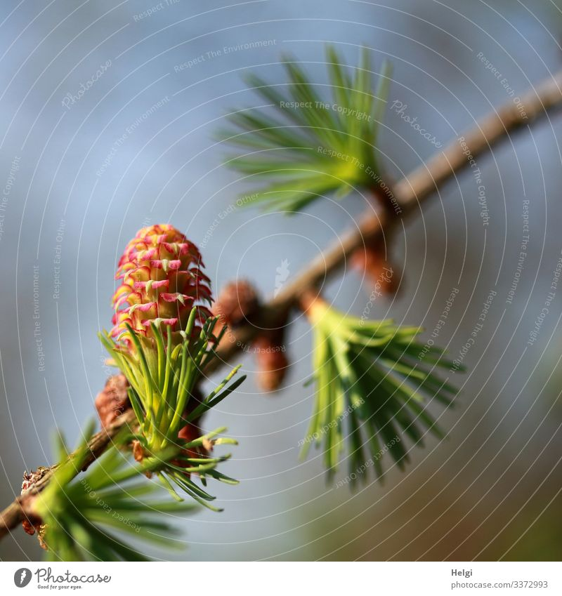Larch branch with larch blossom in spring Environment Nature Plant Sky Spring Beautiful weather Tree Blossom Wild plant Twig Forest Blossoming Growth Esthetic