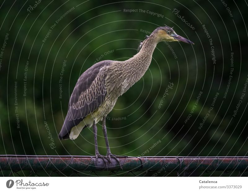 A heron stands on the fence and looks curiously Nature fauna Animal Wild animal Bird Heron Stand Observe Fence Metal Plant leaves Day daylight Green Brown