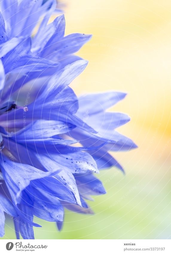 Half blue cornflower in front of a yellow-green background Cornflower Flower Blossom Blossoming Bright Blue Yellow Green Detail Macro (Extreme close-up)