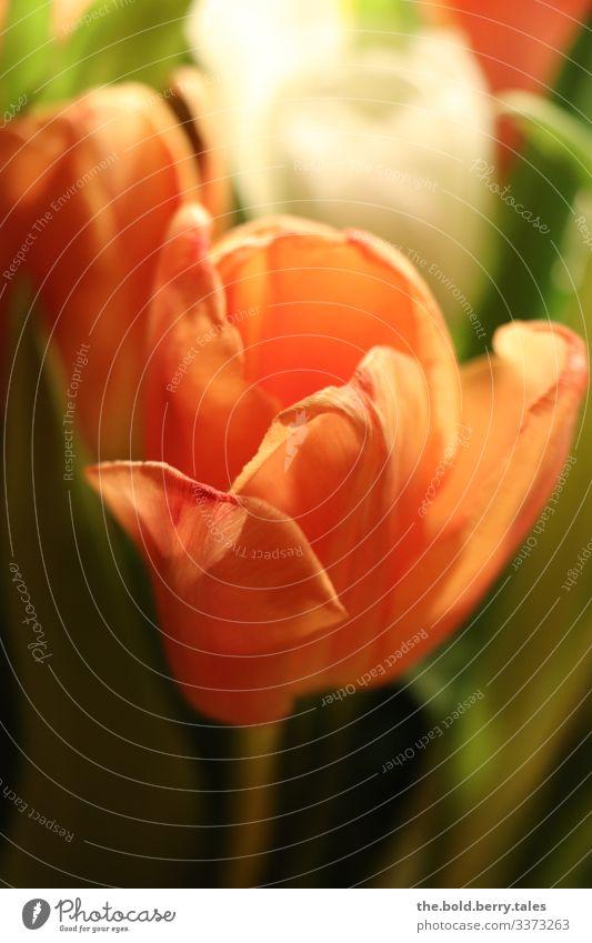 Tulip orange Plant Spring Flower Blossom Friendliness Happiness Fresh Beautiful Green Orange Joie de vivre (Vitality) Spring fever Life Colour Joy Optimism