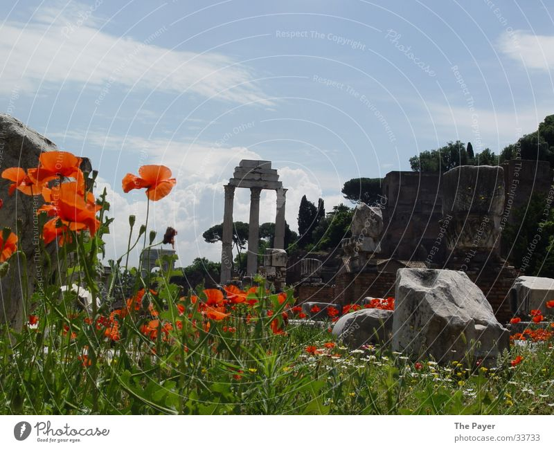 Nature Flower Poppy Historic Nostalgia Column Rome Temple Forum Römerberg