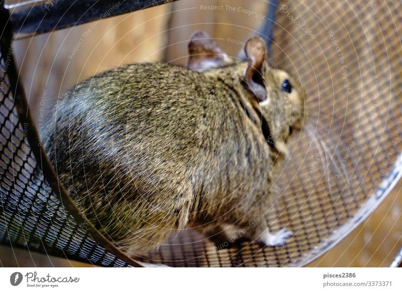 Degu running in it's wheel degu Running octodon degus mammal rodent bead Chile pet sitting cage hair cute little nose brown advice sweet ear head domestic hairy
