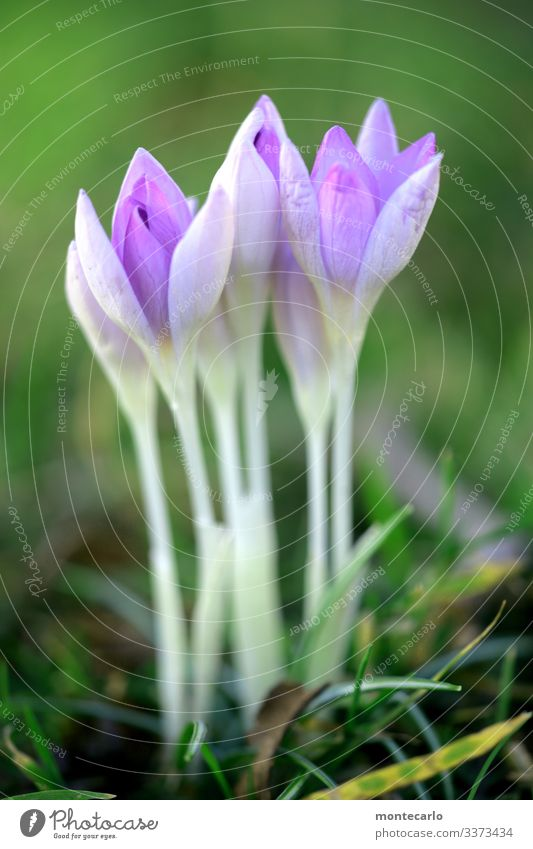 ..always nice and straight Environment Nature Plant Spring Flower Grass Leaf Foliage plant Wild plant Crocus Thin Authentic Simple Fresh Tall Small Near Natural