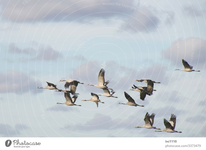 Cranes in group flight in front of a blue sky with clouds Nature Animal Sky Clouds Autumn Beautiful weather Wild animal Bird Grand piano Group of animals Flying