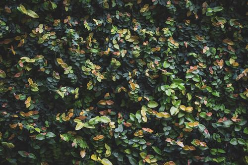 Leaves of a garden hedge Beautiful Life Calm Garden Environment Nature Plant Bushes Leaf Park Growth Simple Fresh Natural Green Colour bush Hedge