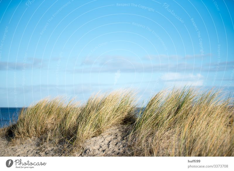 Beach grass on a dune in the wind in front of a light cloudy sky marram grass Dune Moving grass Wind Movement Blue sky Relaxation Clouds holidays