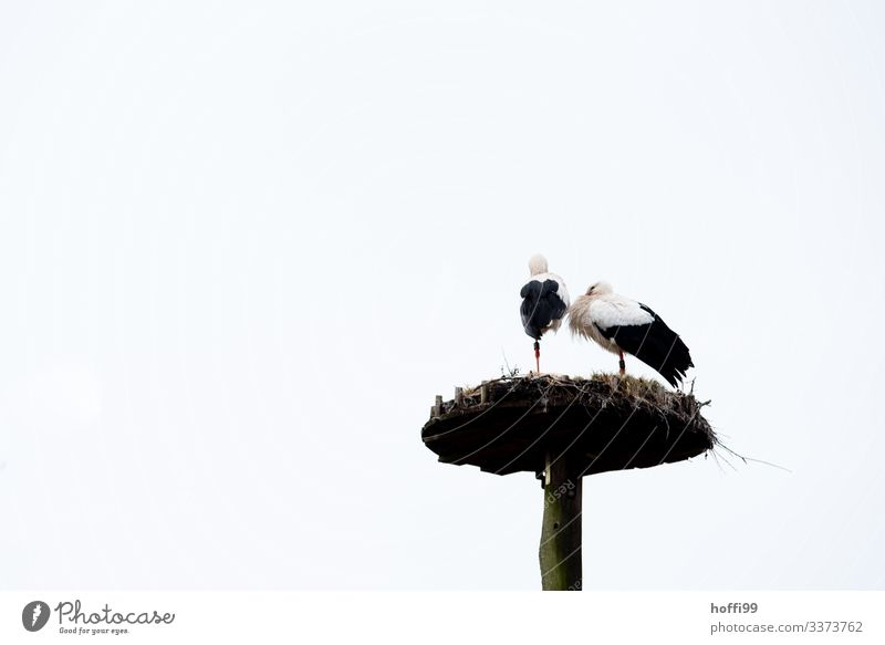 two storks on one leg in the nest Nature Sky Spring Bird Stork 2 Animal Pair of animals Nest Eyrie Observe Touch Stand Wait Living or residing Beginning