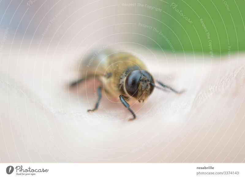 vital | for the genetic distribution of a bee colony: the drone Bee masculine male bee eyes Large big eyes small spike harmless Animal Insect Palm of the hand