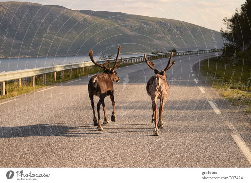 Reindeer Walk - Two reindeer brothers walking on the road in Scandinavia Lifestyle Style Vacation & Travel Tourism Trip Adventure Summer Ocean Animal Hang