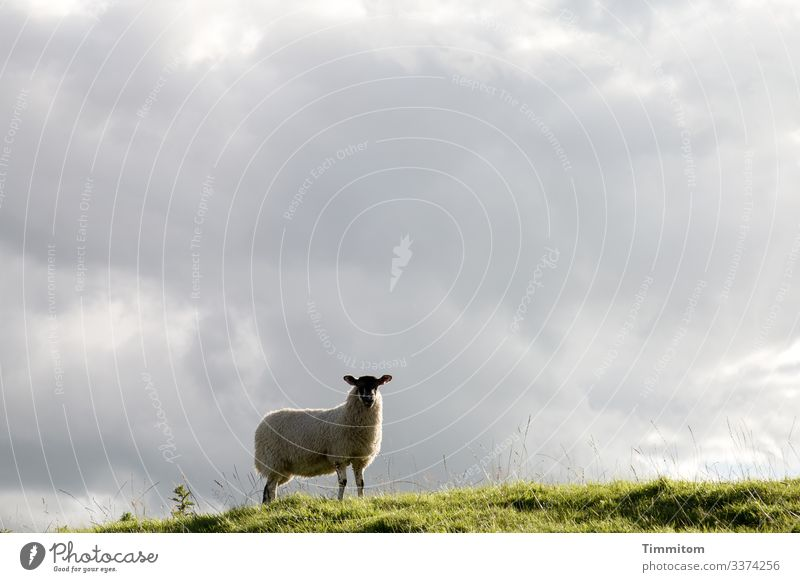 Watchful sheep checks the situation Sheep Willow tree Grass Hill Overview vigilantly Sky Clouds Exterior shot Yorkshire Great Britain