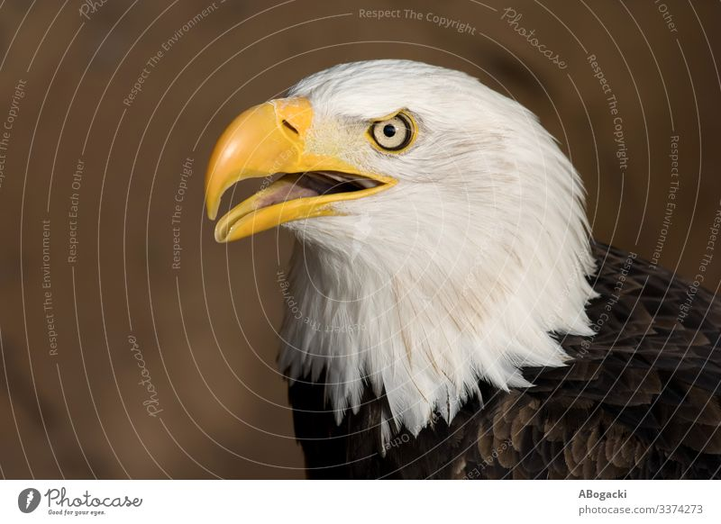 American Bald Eagle Portrait Animal Bird Bald eagle 1 Wild Beak wildlife predator raptor Majestic Feather Symbols and metaphors USA graceful Colour photo