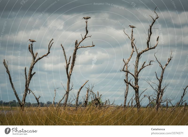 Keeping their distance, three Ibis birds sit on branches of dead trees in a swamp area, dark rain clouds are moving in the sky animals fauna Environment Wild