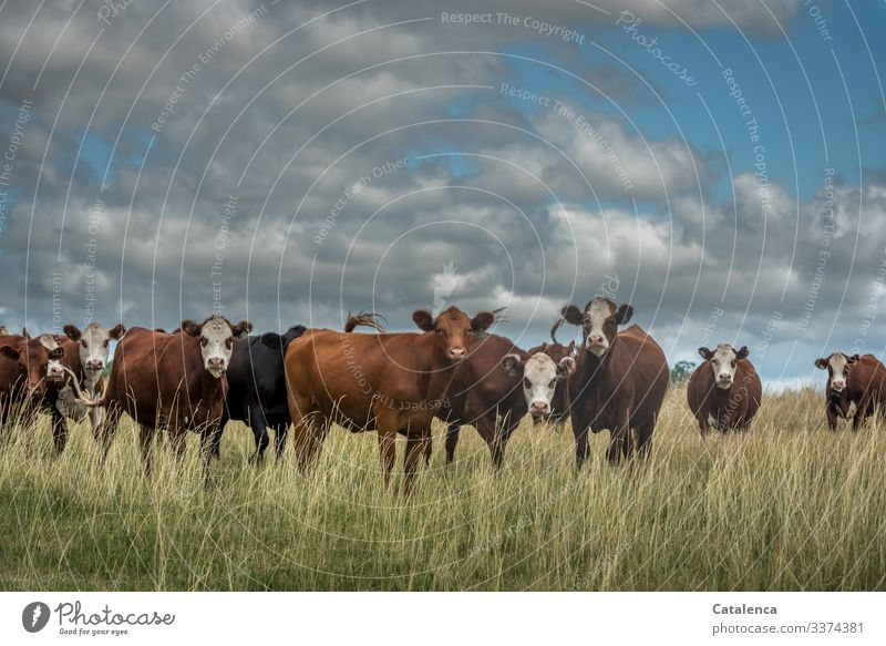 Curious herd of cattle in high grass, clouds are in the sky Cattle farming cows looking Grassland Animal portrait Deep depth of field Exterior shot