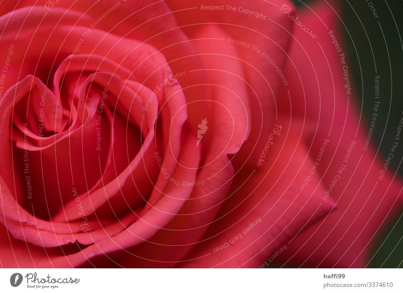 Close-up of the blossom of a red rose Nature Rose Esthetic Fragrance Friendliness Fresh Beautiful Natural Cliche Soft Red Spring fever Love Romance Beginning