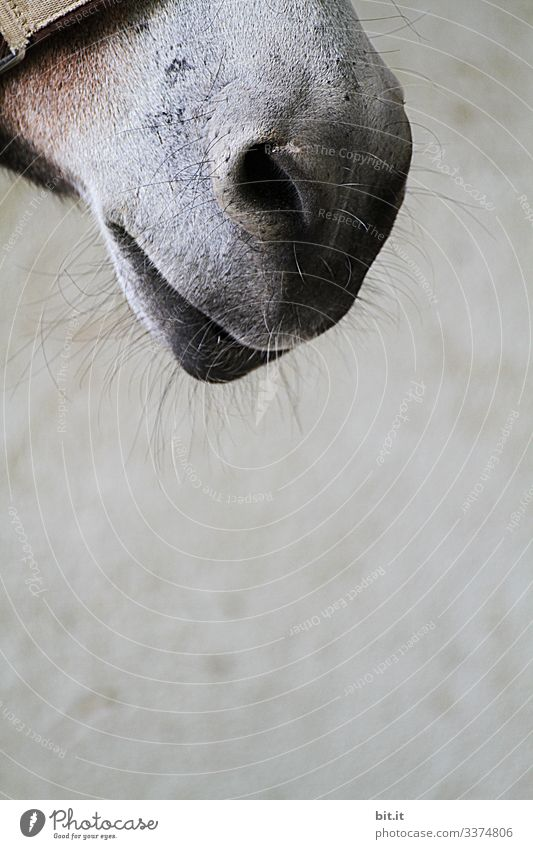 Mouth of a horse as a detailed picture with tactile hair, and halter in front of a grey wall of the horse stable, on a farm. Horse Bangs Animal Love of animals