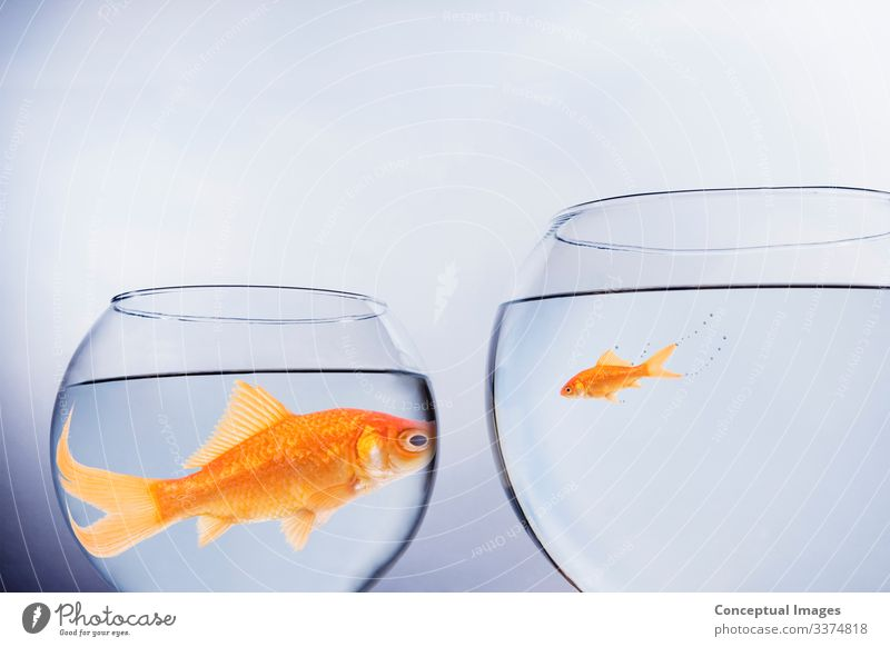 Large and small goldfish face to face Freedom Moving (to change residence) Friendship Pet Together Idea Animals Animal themes Anthropomorphic Change