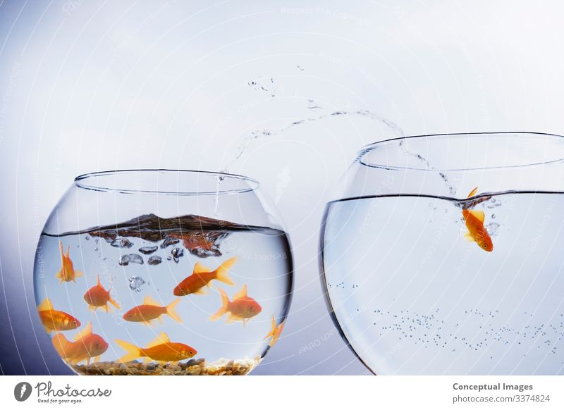 Goldfish escaping from crowded bowl Freedom Moving (to change residence) Animal Pet Jump Uniqueness Beginning Idea Animal themes Arrival Change Crowded Empty