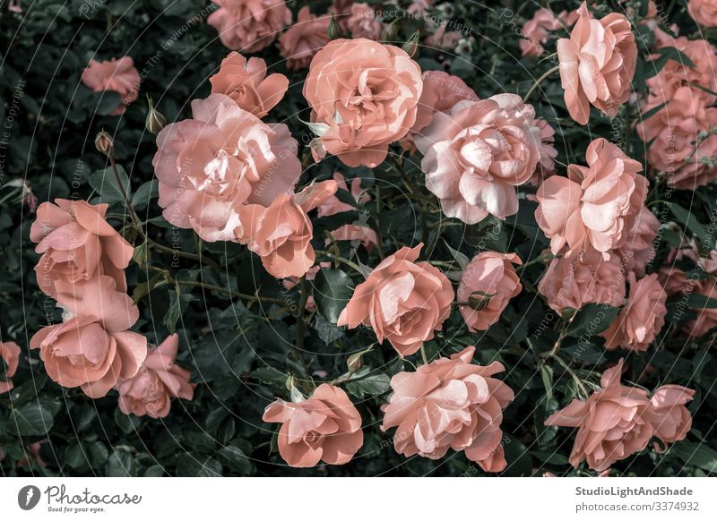 Pastel pink roses in the garden dusty pink pastel antique old flower flowers retro vintage gardening urban nature bloom blooming blossom blossoming summer