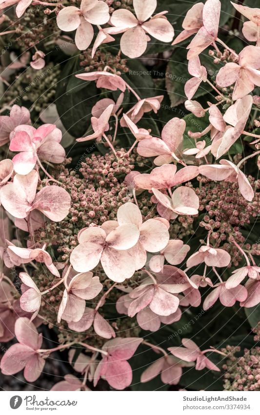 Pink hortensia flowers in the garden hydrangea pink dusty pink pastel retro vintage gardening nature floral background texture feminine elegant bloom blooming