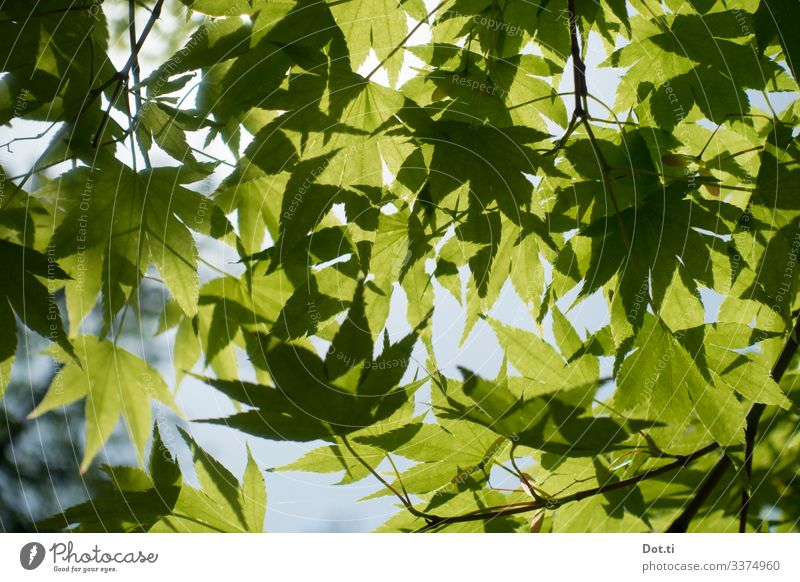 maple leaves Nature Plant Sunlight Tree Leaf Green Idyll Maple leaf Twigs and branches Colour photo Subdued colour Exterior shot Deserted Day Back-light