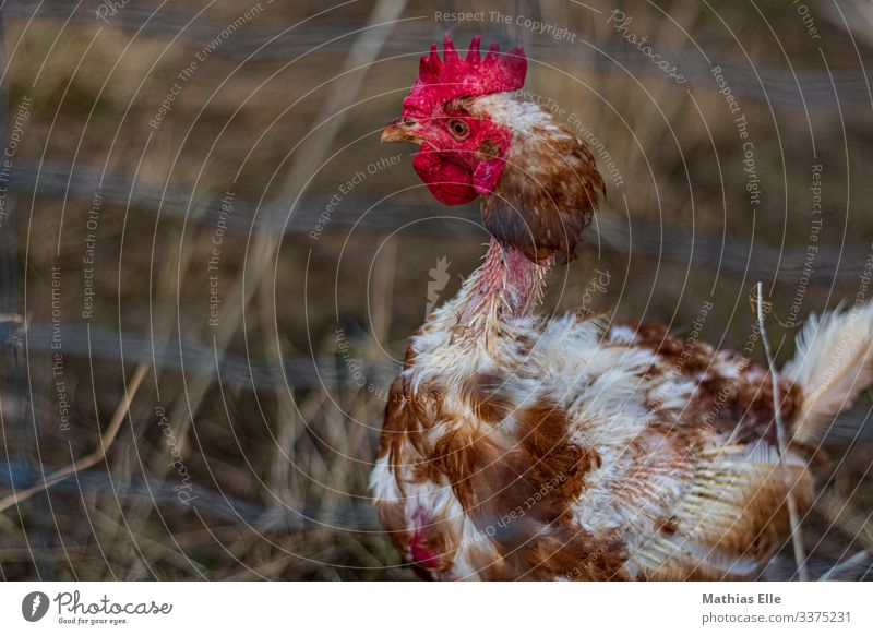 Plucked chicken 1 Animal Brown Red Feather Barn fowl Rooster Disturbed Psychotic Keeping of animals Livestock breeding Farm Battery farm Chicken coop
