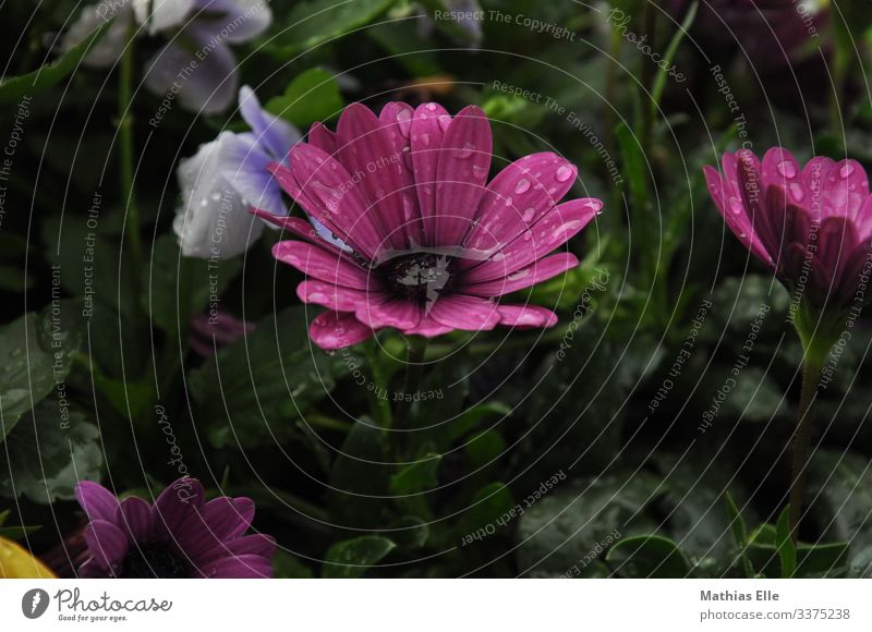 Water in bloom Plant Grass Violet Pink bleed Bud Drops of water Rainwater flaked Flower meadow flower watering Colour photo Deserted purple green water droplets
