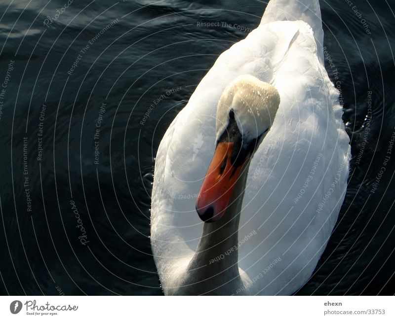 Water Animal Lake Bird Beak Swan
