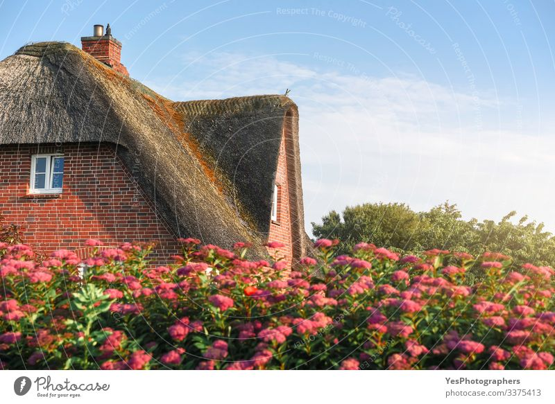Thatched roof of a Scandinavian house with roses on Sylt island Summer House (Residential Structure) Garden Nature Beautiful weather Flower North Sea Village