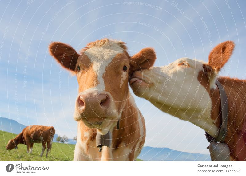 A cow giving affection to another Friendship Cow Together Curiosity Romance Idea Agriculture Animal themes Domestic cattle Herbivorous Humor Replication