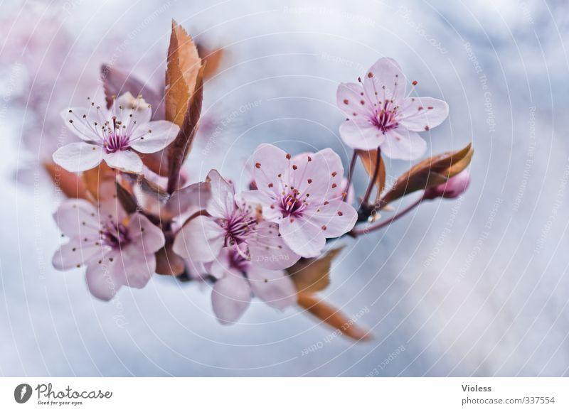 ....thx for Nature Plant Tree Blossom Blossoming Fresh Pink Spring fever Ornamental cherry Japanese flower niche Oriental Cherry grannenkirsche Pistil