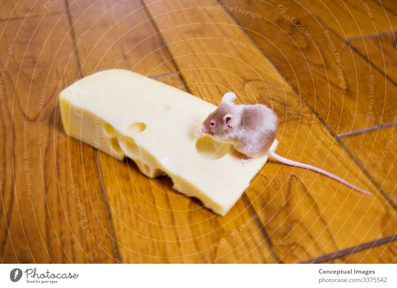 A mouse feeding on a piece of cheese Pet Mouse 1 Animal Success Animal themes Excess Food and drink Humour Luck One animal On top of Pests Satisfaction
