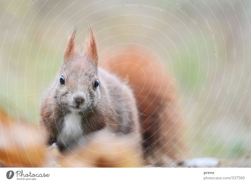 view Environment Nature Animal Wild animal 1 Brown Green Squirrel Looking Looking into the camera Colour photo Exterior shot Deserted Copy Space right Day