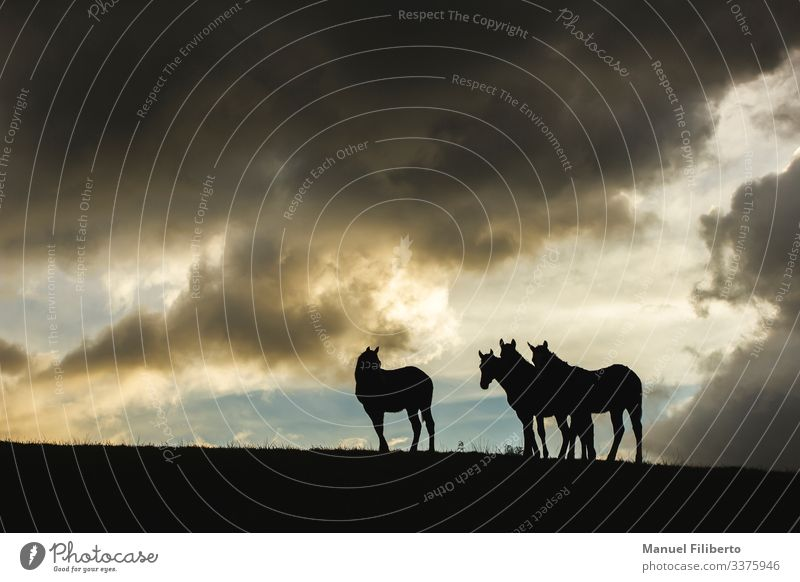 horses in the sunset Nature Animal Storm clouds Field Farm animal Horse 4 Observe Esthetic Elegant Fantastic Blue Brown Yellow Black White Warm-heartedness