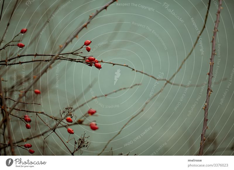 red berries, nature, melancholy Lifestyle Style Nature Winter Bad weather Plant Tree Leaf Twigs and branches Forest Rain Gloomy Hang Sadness Dark Cold Wet Brown