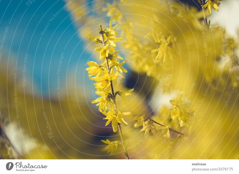Forsythia with sky in the background Lifestyle Nature Plant Blossom Garden Hope Perspective Transience Colour photo Exterior shot Close-up Detail Deserted Light