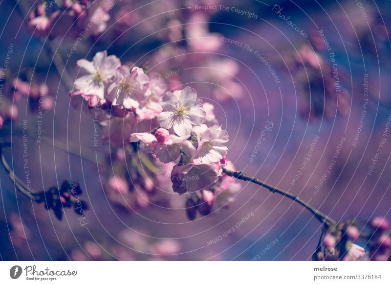 Apple blossoms pink, white, blue Lifestyle Nature Plant Blossom Garden Hope Perspective Transience Colour photo Exterior shot Close-up Detail Deserted Light