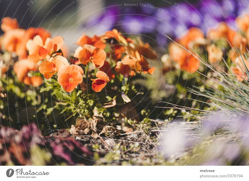 Pansy orange-purple Lifestyle Nature Plant Blossom Garden Hope Perspective Transience Colour photo Exterior shot Close-up Detail Deserted Light Shadow Contrast