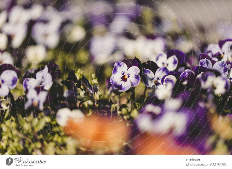 Pansy purple-white Lifestyle Nature Plant Blossom Garden Hope Perspective Transience Colour photo Exterior shot Close-up Detail Deserted Light Shadow Contrast