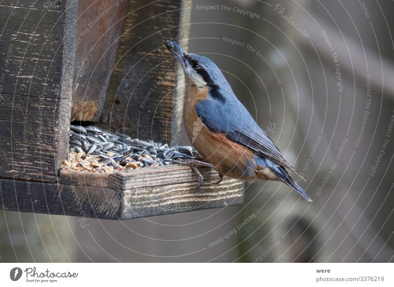 Nuthatch at a bird feeder house Nature Animal 1 Small Cute Birdseed birdhouse branches feathers feeding fly food foraging forest forest bird nobody nuthatch