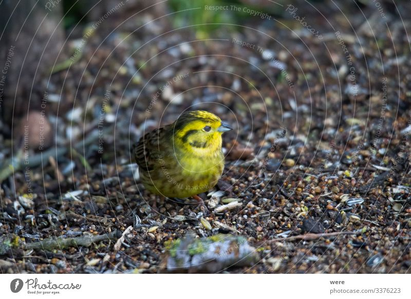 Yellowhammer looks for food on the forest floor Winter Nature Animal Wild animal Bird 1 Small Cute copy space cuddly cuddly soft feathers fly ground looking