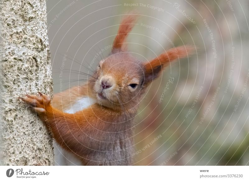 European brown squirrel Nature Animal Wild animal Squirrel 1 Cuddly Small Funny Cute Soft branch branches copy space cuddly soft european squirrel forest For