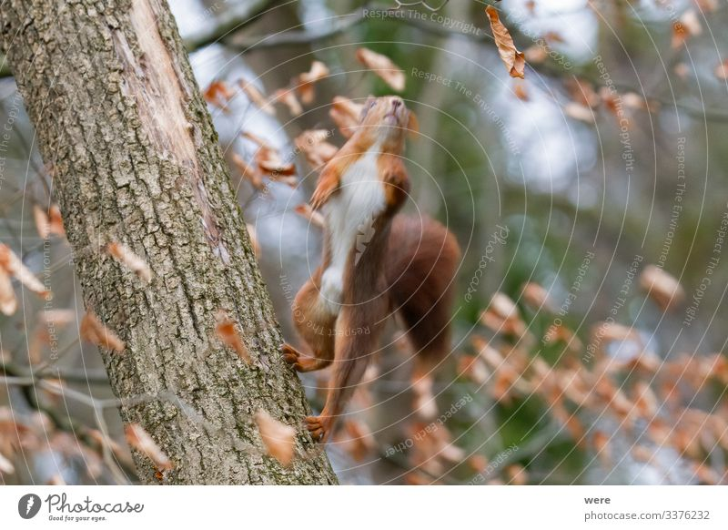 taken off | European brown squirrel i Nature Animal Wild animal Squirrel 1 Friendliness Cute Soft branch branches copy space cuddly cuddly soft