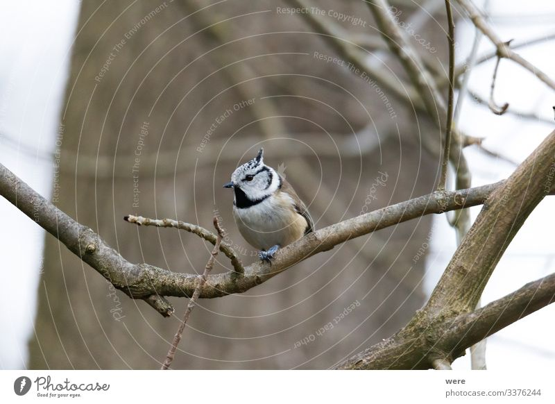 crested tit on a branch Winter Nature Animal Wild animal Bird Crested Tit Cool (slang) Exotic Small winter bird bird feeding branches cold copy space feathers
