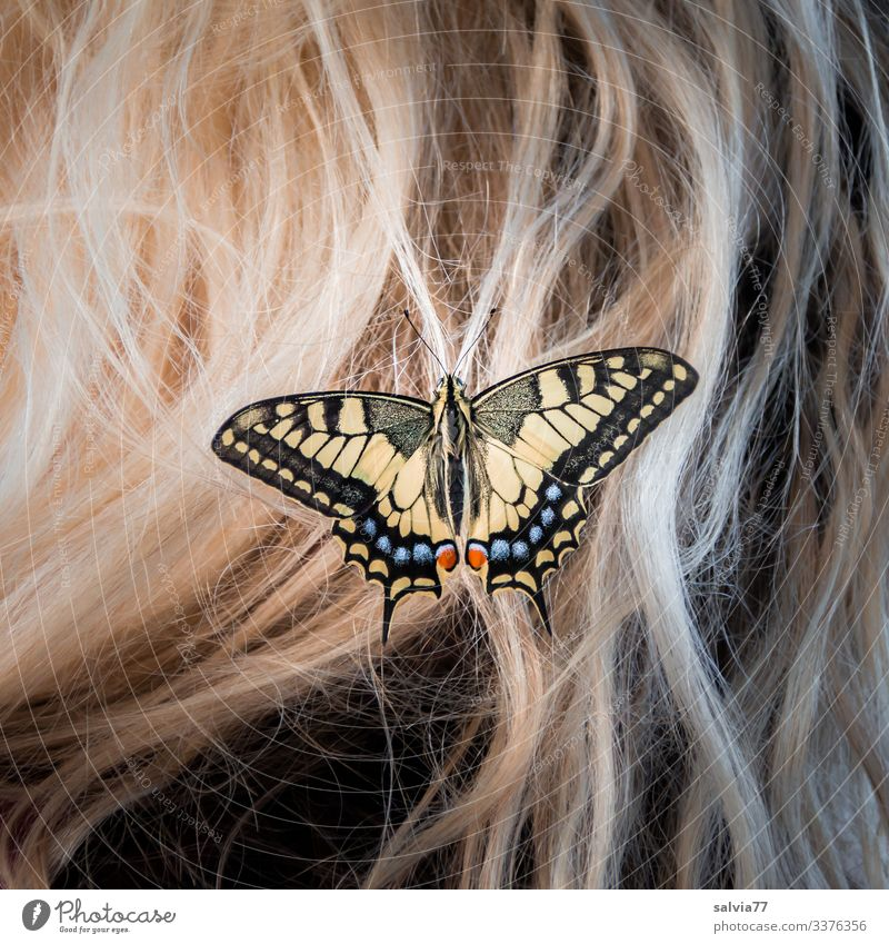 blond hair with butterfly Swallowtail Butterfly Macro (Extreme close-up) Nature Hair and hairstyles blonde hair Insect Hair accessories Blonde butterflies