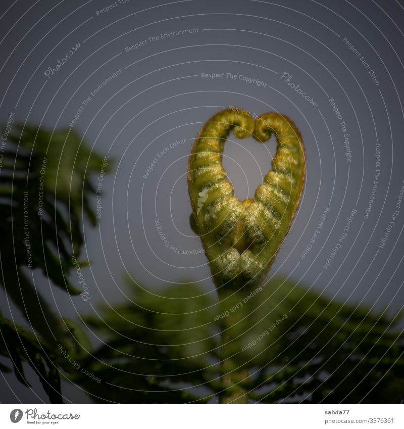 Fern heart Nature Plant Leaf Wild plant Growth Heart Heart-shaped Sincere Exceptional Colour photo Exterior shot Close-up Deserted Copy Space top Isolated Image
