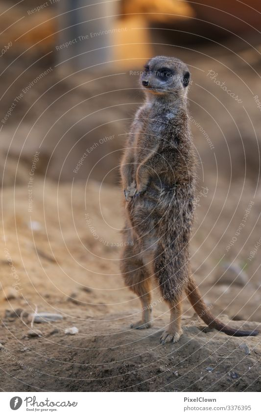 Standing meerkat on lookout Animal Colour photo Animal portrait Wild animal Nature cute,
