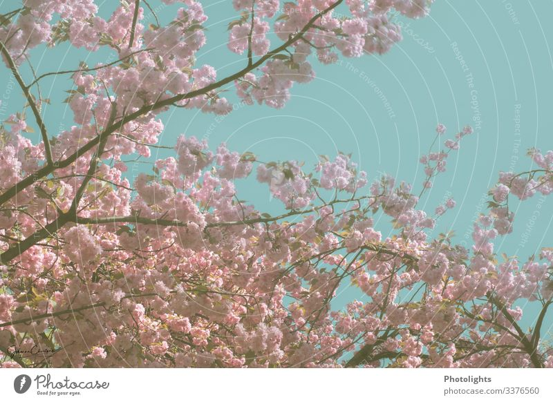 Sea of flowers - Japanese cherry tree Harmonious Sightseeing Environment Nature Landscape Plant Sky Cloudless sky Tree Leaf Blossom Wild plant Cherry tree