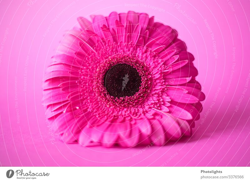PINK on PINK Nature Plant Flower Blossom Gerbera Illuminate Lie Exceptional Fragrance Pink Black Emotions Moody Joy Esthetic Elegant Art Growth Playing frisky