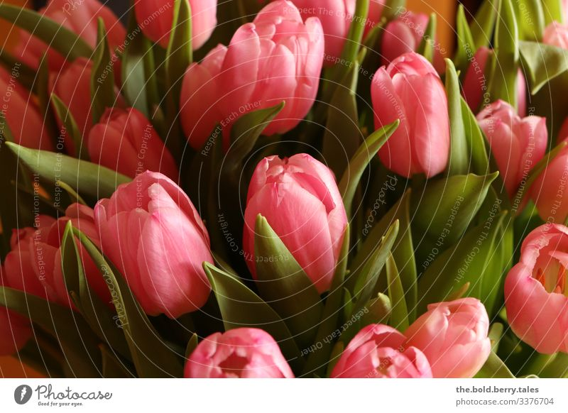 Tulips pink Plant Spring Flower Blossom Friendliness Happiness Fresh Beautiful Green Pink Joie de vivre (Vitality) Spring fever Optimism Life Colour Joy