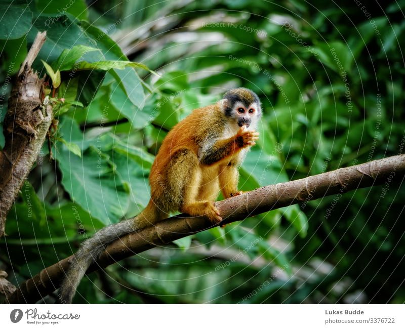 Squirrel monkey sitting on a branch in the rainforest of Costa Rica squirrel monkeys jungle Animal Monkeys Sit sedentary Pelt Orange Forest Wet Wilderness